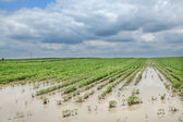 Agriculture, flooded soy field — Stock Photo