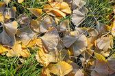 Fall frozen ginkgo leaves — Stock Photo