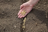 Agriculture, soy bean sowing — Stock Photo