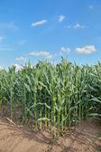Tarım arazisi, mısır alan — Stok fotoğraf