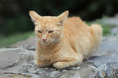 Domestic cat — Foto Stock