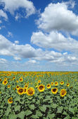 Agriculture, sunflowers filed — Stock Photo
