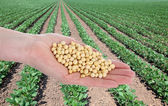 Agriculture, soybean concept — Stock Photo