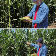 Stock Photo: Agronomist examine corn cob and field