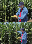 Agronomist examine corn cob and field — Photo