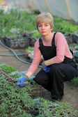 Agricultural worker in a greenhouse with tomato plant — ストック写真