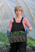 Agricultural worker in a greenhouse with tomato plant — Photo