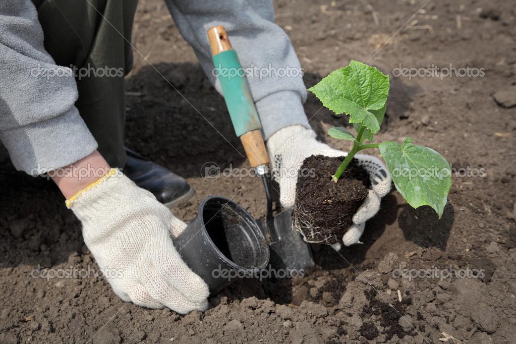 landwirtschaft gurken pflanzen im fr hjahr und landwirt hand stockfoto simazoran 44812975. Black Bedroom Furniture Sets. Home Design Ideas