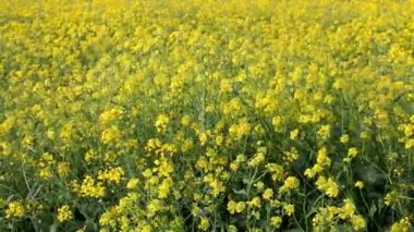 Agriculture, canola plant in field — Stock Video
