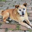Old sad mix breed dog — Stockfoto