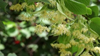 Linden tree flowers and hornet insect in spring — Stock Video
