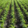 Agriculture, corn plant field — Stock Photo #47747939