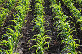 Landbouw, plant maïsveld — Stockfoto