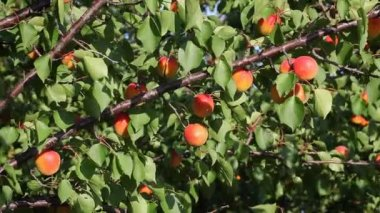Apricot fruit at tree in summer — Stock Video