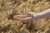 Agriculture, wheat crop — Stock Photo