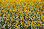 Sunflower plant field in summer — Stock Photo