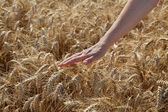 Agriculture, wheat and hand — Stock Photo