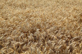 Agriculture, wheat field — Stock Photo