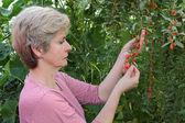 Agricultura, frutas de baga de goji — Fotografia Stock