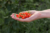 Agriculture, goji berry fruit — Stock Photo