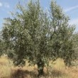 Female agronomist examine olive tree orchard — Stock Video #49842467