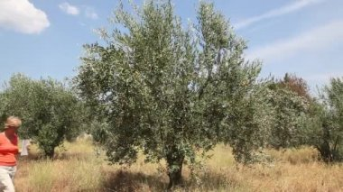 Female agronomist examine olive tree orchard — Stock Video
