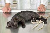 Veterinary, cat surgery — Stock Photo