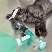 Veterinary, cat surgery — Stock Photo