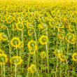 Textured Sunflower oil painting — Stock Photo
