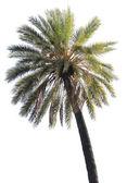 孤立的棕榈树 — 图库照片