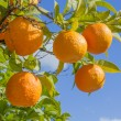 Stock Photo: Branch of tree with oranges
