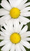 Top view of two daisies with rain drops — Stock Photo