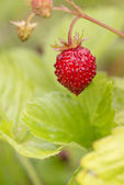 Closeup of ripe wild strawberry growing in garden — Stock Photo