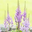 Stock Photo: Closeup of purple flowers in garden at summertime