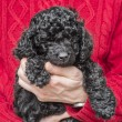 Old hands holding cute black poodle pup — Stock Photo