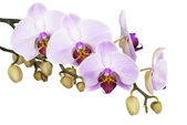 Orchids isolated on a white background — Stock Photo