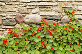 Blossoming nasturtiums against an ancient stone wall — Stock Photo