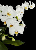 White orchids with yellow middles isolated on black — Stock Photo