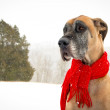 Stock Photo: Great Dane with snow wearing red scarf