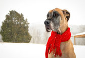Great Dane with snow wearing a red scarf — Stock Photo