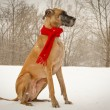 Stock Photo: Great Dane sitting in snowy background wearing red scarf