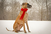 Great Dane sitting in snowy background wearing red scarf — Stock Photo