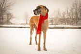 Great Dane in snow with red scarf — Stock Photo