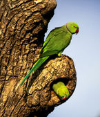Two ring necked parakeets at nest site — Stock Photo