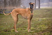 Great Dane standing in a snow storm — Stock Photo