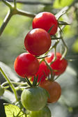 Different Colored Cherry Tomatoes — Stock Photo
