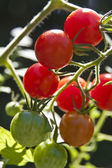 Cherry Tomatoes in Different Stages of Growth — Stock Photo