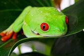 Frog on Leaf — Stock Photo