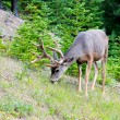 White Tail Deer In Banff — Stok fotoğraf