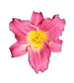 Pink Daylily Hybrid — Stock Photo